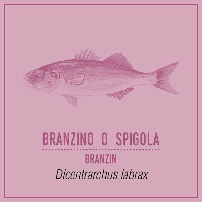 Branzino o Spigola (Branzin) - Dicentrarchus labrax