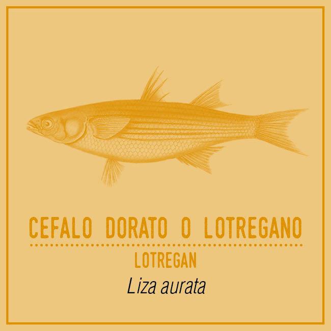 Cefalo Dorato o Lotregano (Lotregan) - Liza aurata