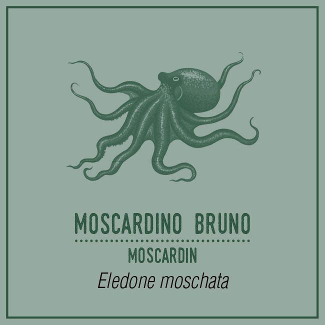 Moscardino Bruno (Moscardin) - Eledone moschata