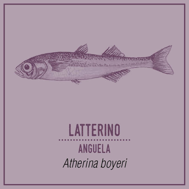 Latterino (Anguela) - Atherina boyeri