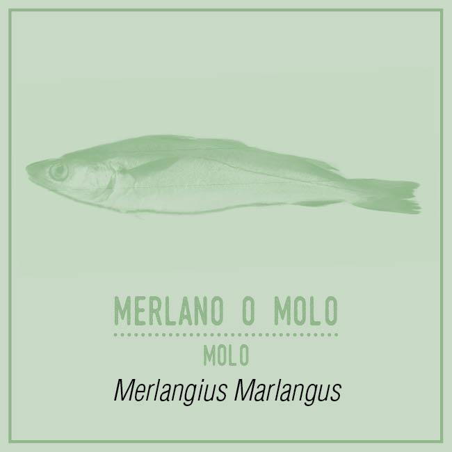 Merlano o Molo (Molo) - Merlangius Marlangus