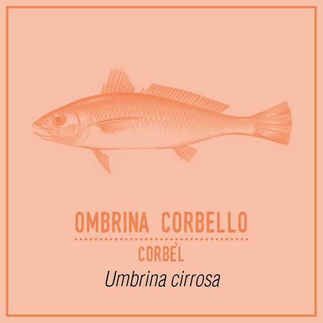 Ombrina Corbello (Corbèl) - Umbrina cirrosa