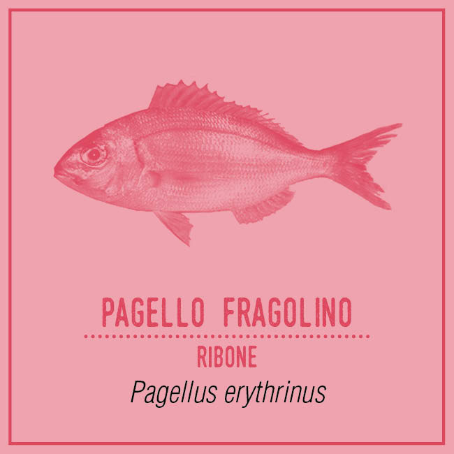 Pagello Fragolino (Ribone) - Pagellus erythrinus