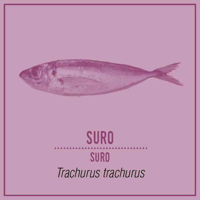 Suro (Suro) - Trachurus trachurus