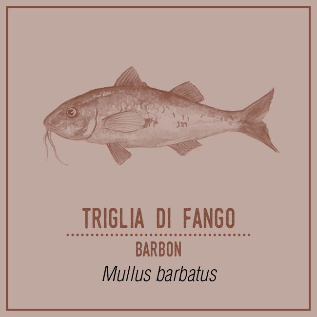 Triglia di Fango (Barbon) - Mullus barbatus